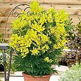 Acacia Dealbata | Mimosa jaune parfumé | Plante d'extérieur | Hauteur 40-60cm | Pot de Ø 15cm