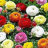 10 Pezzi Bulbi Di Ranuncoli Misti Fiori Luminosi Per La Decorazione Della Casa Fiori Ornamentali Colorati Per Il Giardinaggio Lampadine Di Ranuncolo Di Alta Qualità Per La Piantagione Di Giardini