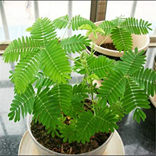 Bornbayb 100 Pieces Mimosa Pudica Seeds Garden Terrace Flower Seeds Sensitive Plant Seeds