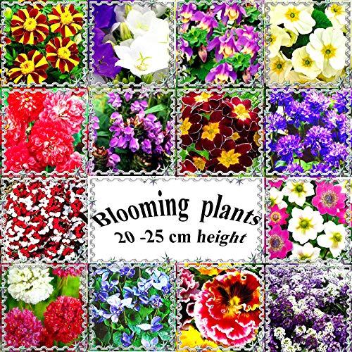 FERRY HOCH KEIMUNG Seeds Nicht NUR Pflanzen: Aurikel Mischfarben: Und Annual Blooming Samen, von 20 bis 25 cm oder 9