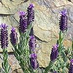 Floralpina - Vinaigre des 4 voleurs 250ml #3