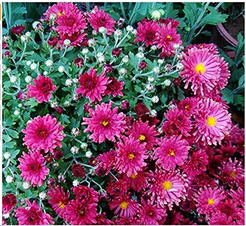 Beautytalk-Garten- 100 Stück Chrysanthemum - Glorious Mixture Blumensamen Duftende Winterharter Bodendecker Afrikanisches Pflanzen für Garten Balkon