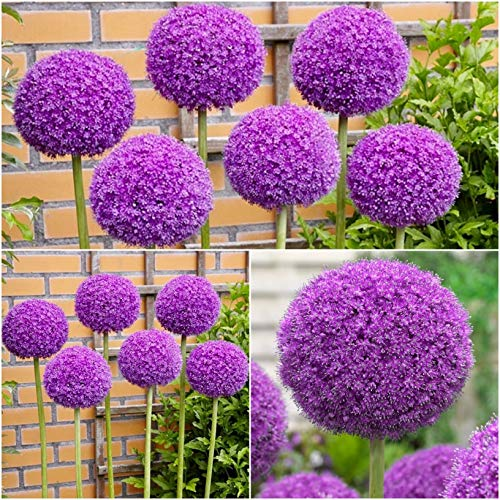 Woodland bulbs 6 x Allium Bulbs 'GIGANTEUM' Summer Flowering Bulbs - Garden Perennials Plants Bulbs Flowers - Perfect for Bees - Plant in Flowerbeds & Borders - Bulbs Size 18/20 (Free UK P&P)