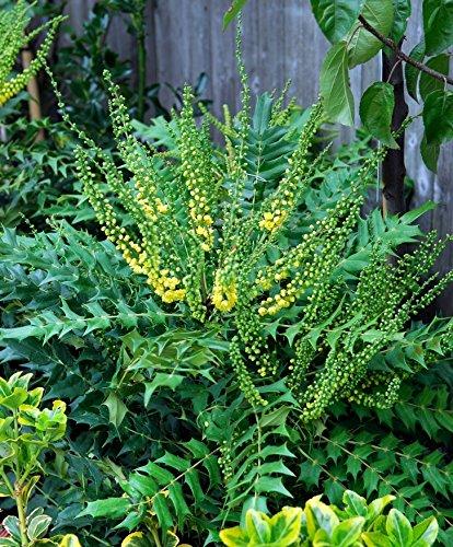 Mahonie -Winter Sun- Mahonia Media - Winterblüher mit gelben, honig-duftenden Blüten - Immergrüner Strauch von Garten Schlüter - Pflanzen in Top Qualität