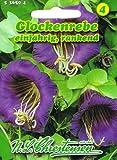 Glockenrebe Rebe Cobaea scandens Schlingpflanze rankend