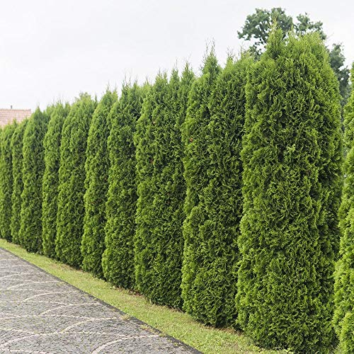 Emerald Green Arborvitae Package