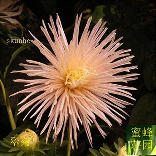 Aster graines de graines de fleurs de vanille Variété de la cire turquoise Jiangxi graines chrysanthème environ 100 graines 6