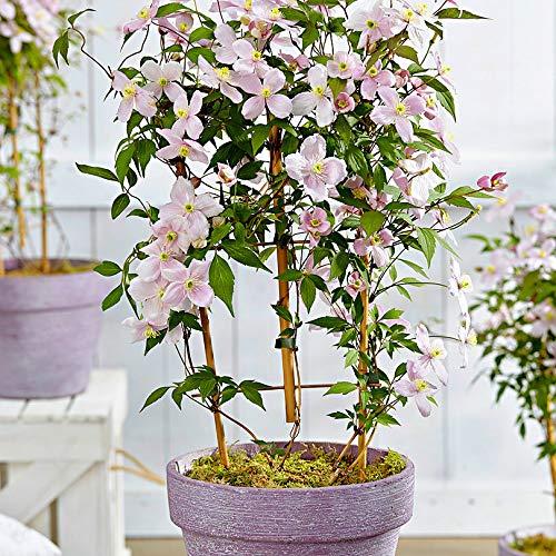 mymotto Blumensamen - Clematis montana 'Rubens', ein Meer von zartrosa Blüten für Pergolen und Zäune, 50 Samen