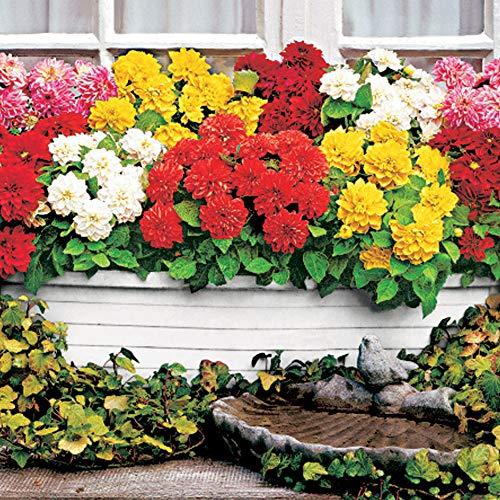 5x Dahlia | Dahlien Blumenzwiebeln Mix | Sommerblüher Mischung | Garten und Balkon