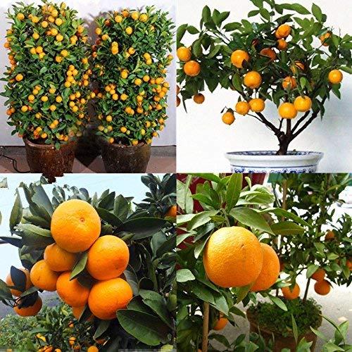 30pcs comestible de la fruta cítrica de naranja mandarina árbol Bonsai Seeds Plantas del jardín...