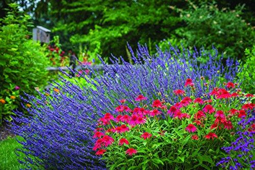 Burpee Phenomenal Lavender | 4 Perrenial Plants, Blue