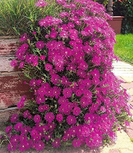Keland Garten - Selten Mittagsblume Delosperma