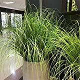 UOEIDOSB 6 Piezas 60 cm Hojas Artificiales de simulación de Hojas de Cebolla Hierba de Seda decoración de Flores arreglos Florales Plantas de simulación de ingeniería de césped