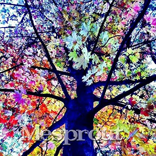 Rare Rainbow Tree Bonsai Eucalyptus Deglupta Mindanao Gum Home Garden Giant Tree Bonsai Tree Bonsai 100pcs/bag