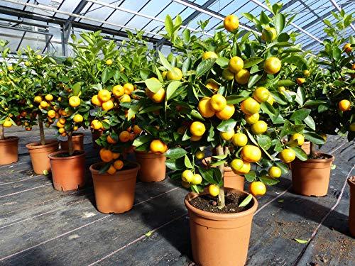 Calamondin Stamm Busch Orange Citrus Mitis 70-90 cm Orangenbaum Calamondino Kalamansi