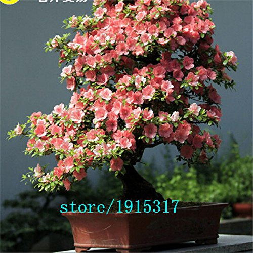 10pcs rares japonais graines de fleur graines sakura cerise plantes Bonsai pour la maison et le jardin
