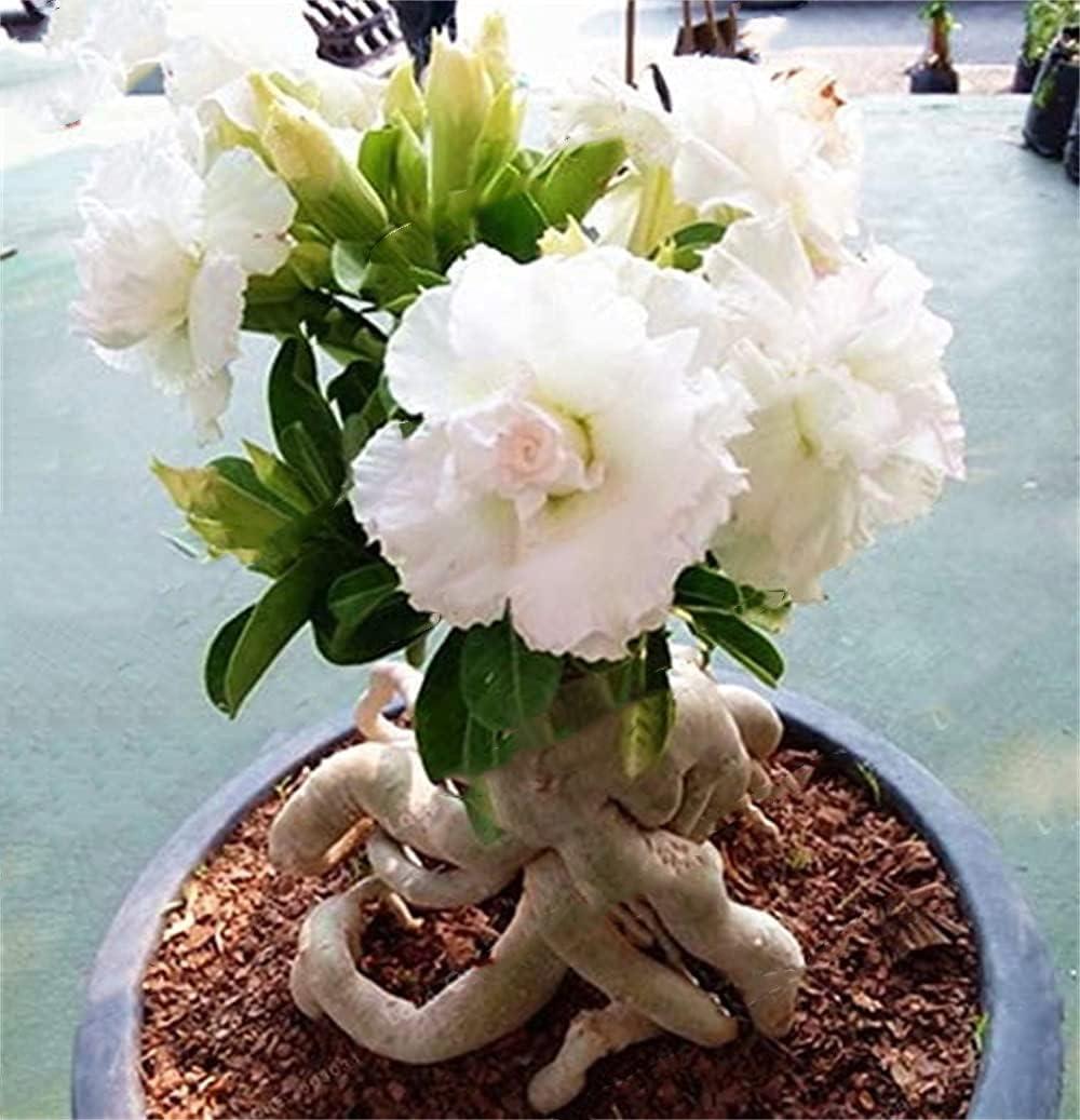 Desert Rose Impresionante Regalo Patio Jardín Decoración Del Hogar Planta Bulbo Especies Raras-2-rizoma,Blanco