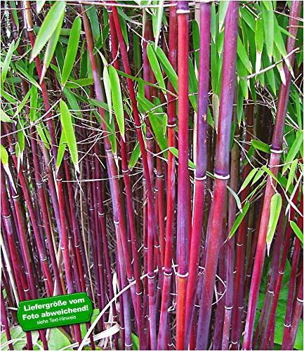 BALDUR-Garten Roter Bambus 'Chinese Wonder' winterhart, 1 Pflanze Fargesia jiuzhaigou No.1 bildet keine Wurzelausläufer, schnell wachsend