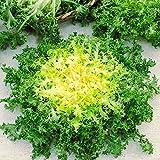 500 Seeds, Endive'Green Ruffec' Frisee Heirloom Seeds