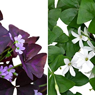 Easy to Grow Oxalis Triangularis and Regnelli Combo - 40 Robust Bulbs - 3/4