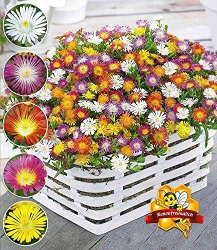BALDUR Garten Winterharte Eisblumen Wheels of Wonder® Farbmix 5 Pflanzen, Delosperma congesta