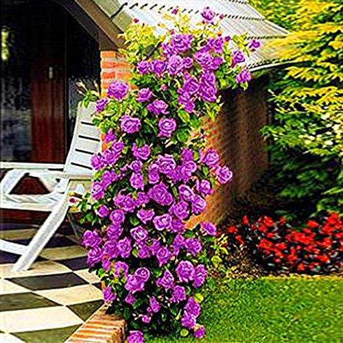 Qulista Samenhaus - 200pcs Selten duftend Rosenblumen Kletter-Rose Lila Blumensamen winterhart mehrjährig für Terrasse & Rabatten & Garten