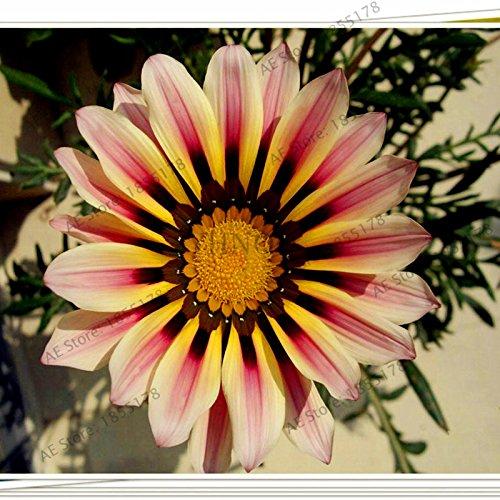 100pcs/sac Rare Fleurs graines Gazania rigens Graines Accueil Balcon Jardin Bonsai d'ornement Splendens Chrysanthème 11
