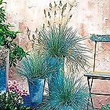 AchidistviQ 300 Piezas Festuca Glauca Vill Plantas De Hierba Azul Plantas De Hierbas De Hoja Perenne Resistentes Y Resistentes A La Sequía para Plantar Jardín Semillas de Hierba Verde