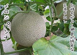 てしまの苗 メロン苗 パンナ 9cmポット 断根接木苗 野菜苗