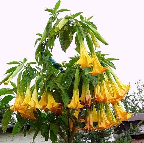 25pcs de vente Hot / lot arbre bonsaï mandala graines blanc / jaune / rose / violet jardin noir fleur rare graines / arbre