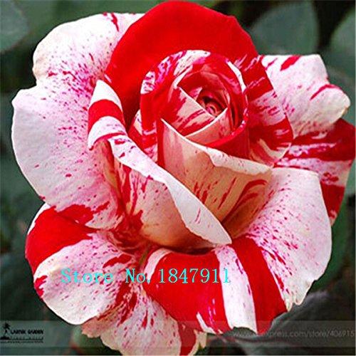 Big vente True Blood Rare Seeds Black Rose, Rare Étonnamment Belle Black Roses Red Bord fleur Graine 100 pièces / lot