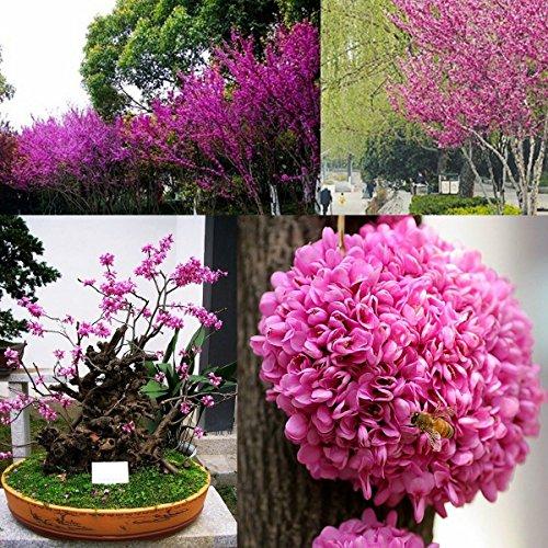 30 Seeds Judas Tree Bonsai - Cercis Siliquastrum Flower Redbud - SOW ALL YEAR