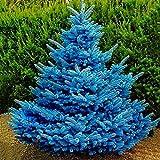 XQxiqi689sy 100 unids/bolsa de semillas de abeto azul no transgénico nueva planta anual semillas de abeto semillas de jardín Picea Pungens semillas