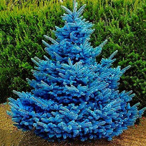 XQxiqi689sy 100 Stück/Beutel Blaue Fichte Samen nicht transgenisch neue Pflanze jährlich Fichte Samen Garten Samen Picea Pungens Samen