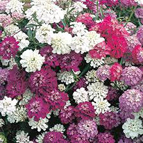 Candytuft Seed, Mix Fairy Nain, 1000 Graines rose, lavande, fleurs blanches