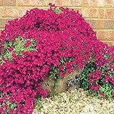 Semillas de flores rojas 50+ Aubrieta berro de roca/Perenne