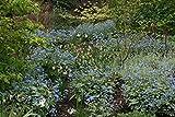 Brunnera macrophylla 'Jack Frost': a garden tested, hardy perennial plant