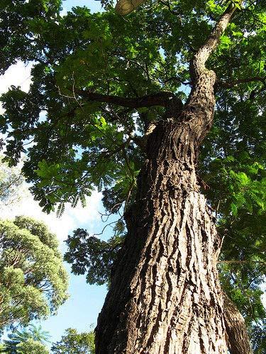 Portal Cool 50 Semi X cedro spagnolo, Cedrela Odorata cubana Cedar