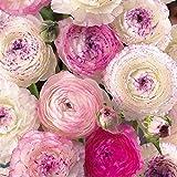 15個ミックスラナンキュラス球根春のガーデニング植栽多年生花塊茎夏の開花球根屋外バルコニー中庭の装飾生き残るのは簡単ホリデーギフト
