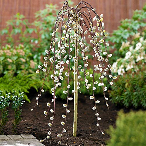 Salix Caprea Pendula 'Kilmarnock' Tree | Weeping Pussy Willow Trees for Small Gardens, Patios & Borders | Lollipop Potted Ornamental Garden Plant (2ft - 3ft)