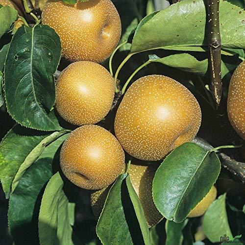 Nashi-Birne Kosui Birnen Birnenbaum Obstbaum winterhart 120-150 cm
