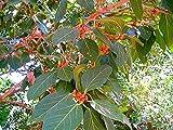 Alick 30 semillas de árbol Ficus benghalensis