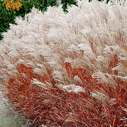 Qulista Samenhaus - Rarität 10pcs exotisch Chinaschilf rot/weiß Ziergräser Blumensamen winterhart mehrjärhig pflegeleicht