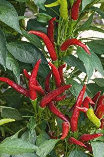 Best thai super chili hybrid hot pepper Reviews