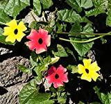 100 Pcs Mixed Black Eyed Susan Vine Seed- Tender Perennial
