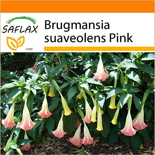 SAFLAX - Garden in the Bag - Trombone d'angelo rosa - 10 semi - Brugmansia suaveolens Pink