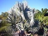5 Bismarck Palm SeedsRareExotic Bismarckia Nobilis Giant Seeds by Giant Bean Bag Chairs