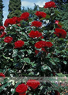 ADB Inc New Dark Red Climbing Rose Plant Seed, Strong Fragrant Flowers