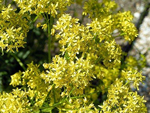 100 Isatis tinctoria Graines, teinturiers guède, graines colorant naturel, arbre DYERS pastelier Graines