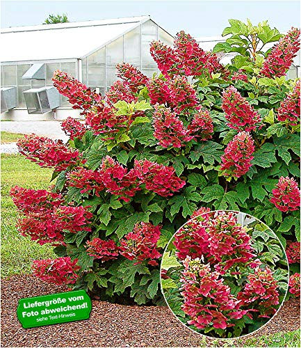 """BALDUR-Garten Garten Hortensie""""Ruby Slippers"""", 1 Pflanze Hydrangea quercifolia Eichblatthortensie winterhart"""